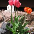 5-tulips